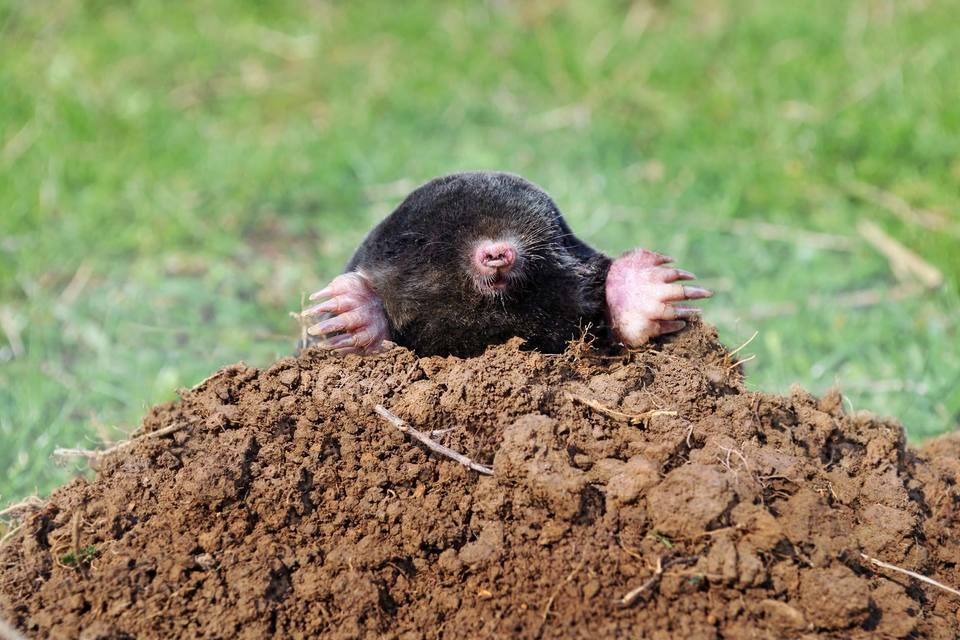 Mole coming out of a mole hill