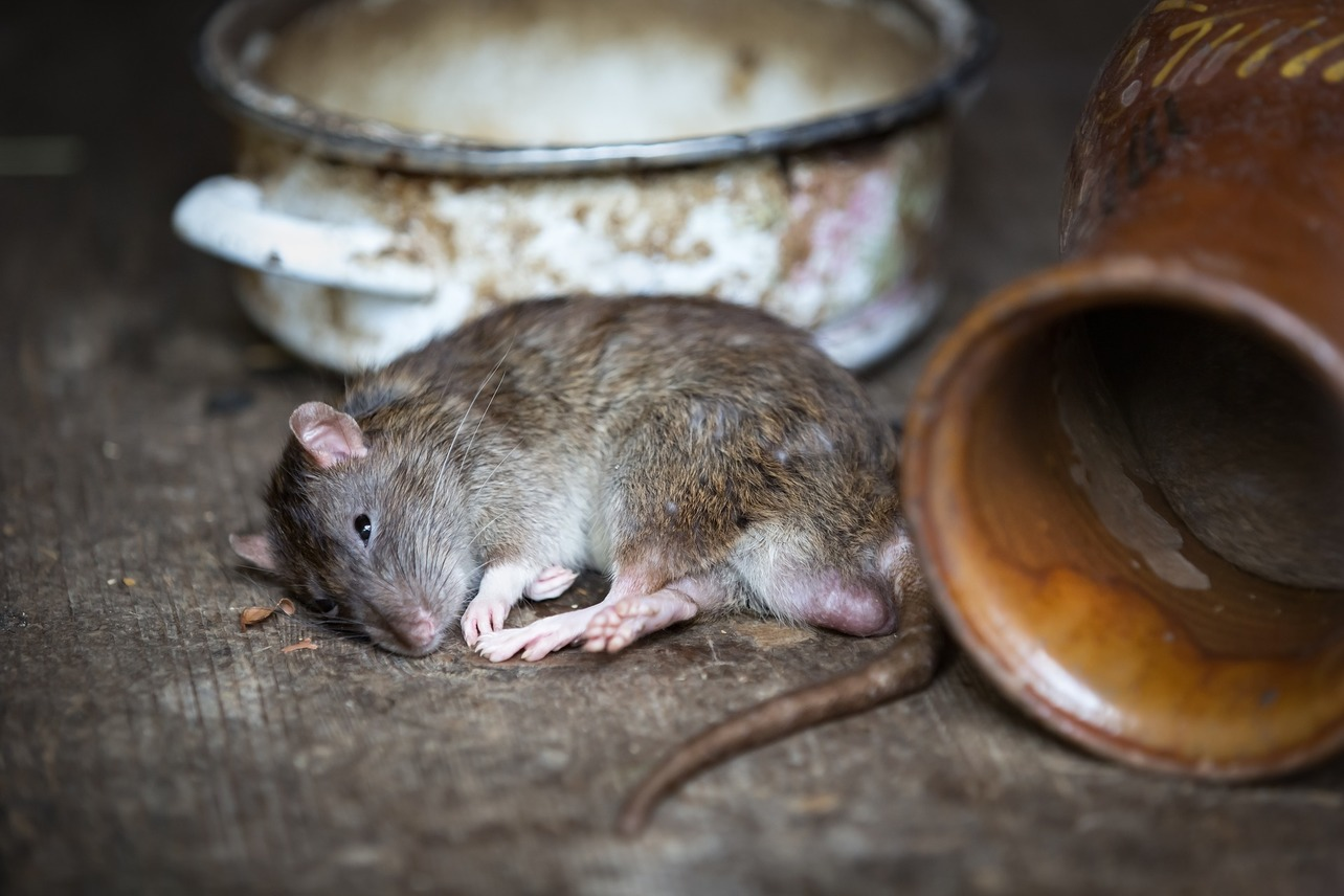 Rat by a bowl