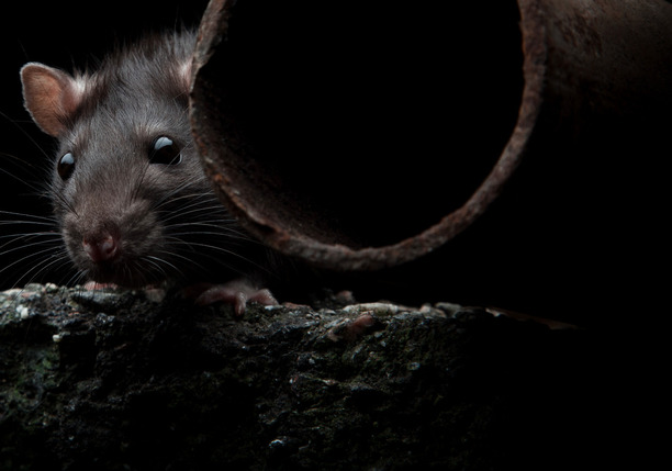Rat near pipe
