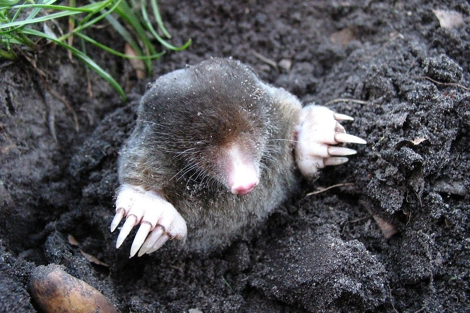Mole appearing out of a molehill